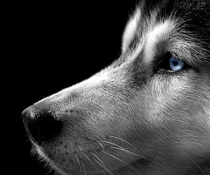 Suberian husky photo wallpaper