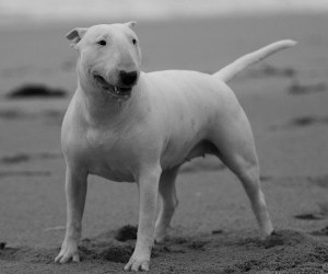 Bull terrier on the beach wallpaper