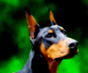 Doberman pinscher animated dog photo wallpaper