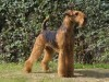 Airedale terrier staying streight wallpaper