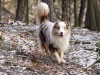 Australian shepherd in the wood wallpaper