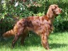 Irish setter dog image wallpaper
