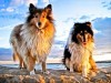 Two collies enjoying at sunset wallpaper