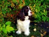 English springer spaniel in wood wallpaper