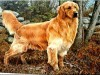 Golden retriever painted wallpaper wallpaper
