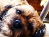 Lazy border terrier on floor wallpaper