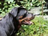 Rottweiler the watch dog wallpaper