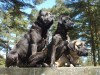 Cane corso dogs wallpaper