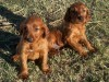 Irish setter babies photo wallpaper