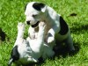 Staffordshire bull terrier puppies wallpaper