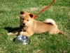 Puppy of finnish spitz on ground wallpaper