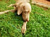 Cute weimaraner listen to the music wallpaper