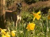 White yellow whippet wallpaper