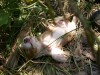 Cute puppy of brittany spaniel in bushes wallpaper