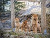 Puppies of finnish spitz in a box wallpaper