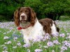 Pretty springer spaniel wallpaper