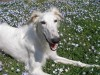 Borzoi lying in the flower field wallpaper