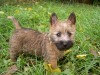 3 months cairn terrier puppy wallpaper