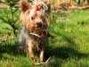 Wet yorkshire terrier hair wallpaper