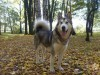 Alaskan malamutes and leaves wallpaper