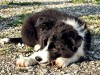 Puppy of border collie on the ground wallpaper