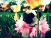 Pug in th eflower field wallpaper