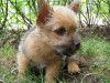 Cute baby of norwich terrier wallpaper