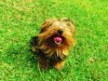 Red tongue of yorkshire terrier wallpaper