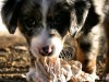 Australian shepherd puppy play wallpaper