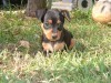 Dark brown puppy of miniature pinscher wallpaper