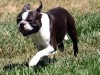 Boston terrier running wallpaper