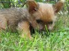 Norwich terrier in grass wallpaper