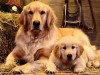 Two golden retrievers wallpaper