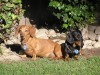 Two dachshunds black and brown wallpaper wallpaper