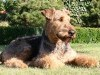 Airedale terrier wallpaper