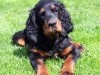 Gordon setter intelligent dog wallpaper